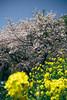 Photo:桜と菜の花のコラボ By kzy619
