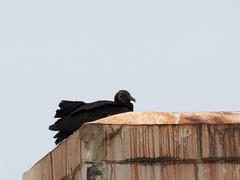 black vulture on vacant bldg