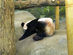 Memphis Zoo 08-31-2016- Giant Panda Ya Ya (Female) 7