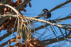 European Starling  -  Star