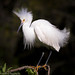 Snowy Egret, breeding plumage by Kathrin Swoboda