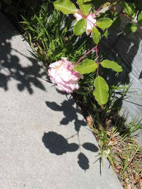 P1030491 mrs dudley cross roses and shadows goleta