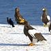 Steller's Sea Eagles (Dani Free)