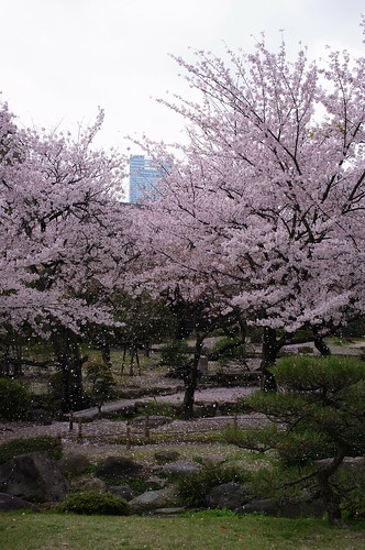 Cherry petals are falling.