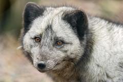 Portrait of a polar fox