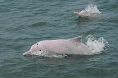 永遠帶著微笑的白海豚,滅絕機率高達93%。(圖片來源:林務局)