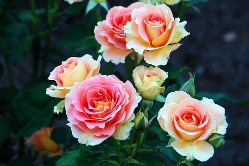 Shonai Ryokuchi Koen Roses 041r