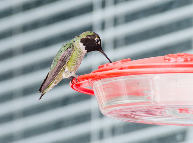hummingbird-20140427-4