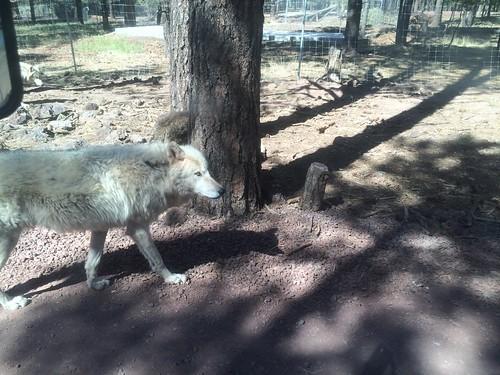 Wolf at Bearizona