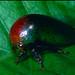 Treehopper (Membracidae) ©berniedup