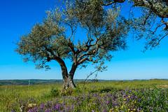 Razones para recorrer el Sendero GR 14 en Zamora. Cultivo de olivos
