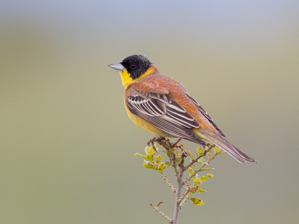 Black Headed Bunting 2014-05-05