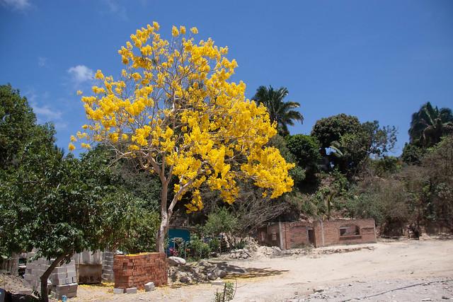 Beautiful Yellow Tree in Mismaloya, Jalisco, Mexico