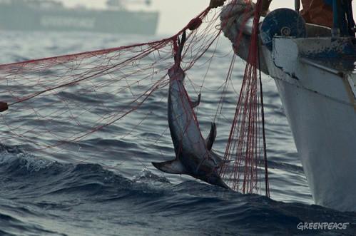 在地中海使用流刺網捕撈的非法漁船。(© Greenpeace/GParsons)