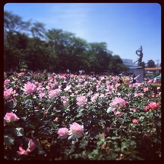 バラ咲き乱れてます。