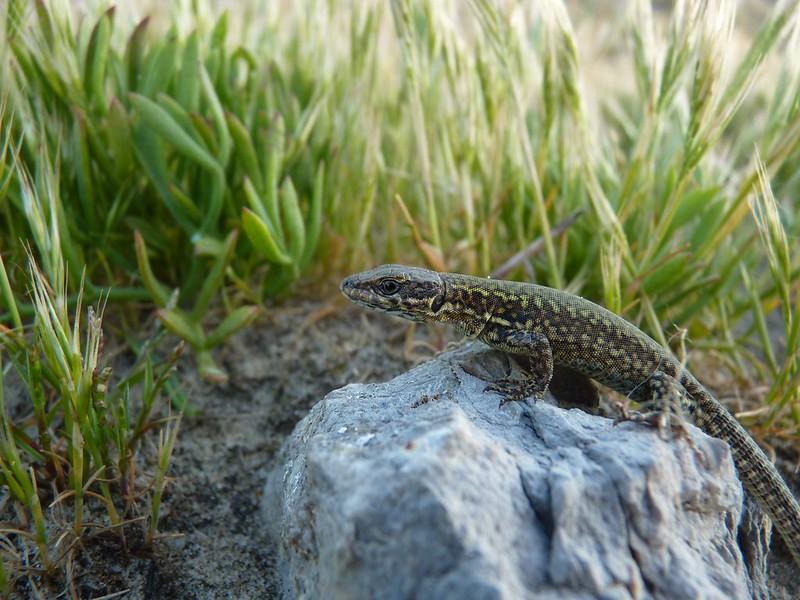 Young Wall Lizard - Dorset