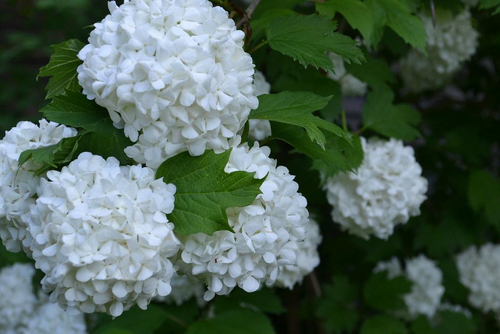 viburnum*июнь
