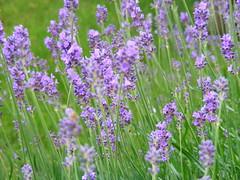 lavandula dentata(0.0), lavandula stoechas(0.0), dactylorhiza praetermissa(0.0), prairie(1.0), flower(1.0), english lavender(1.0), plant(1.0), lavender(1.0), herb(1.0), wildflower(1.0), meadow(1.0),