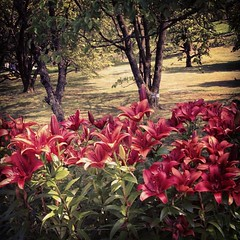 Gigli rossi #lagomaggiore #giriingiro #pallanza #villataranto