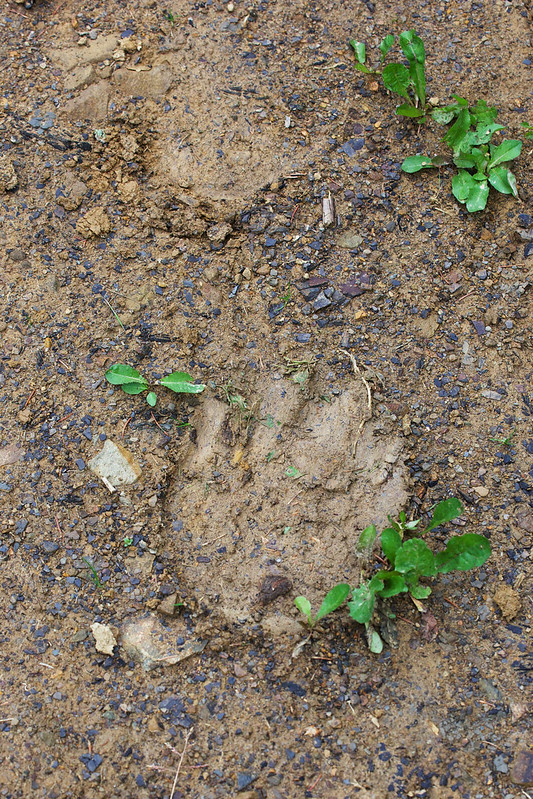 Footstep of unknown animal in Carpathian mountains