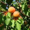 Abricots et pêches