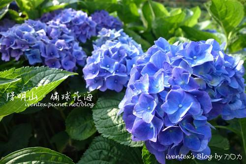 00_台北陽明山竹子湖大梯田繡球花海
