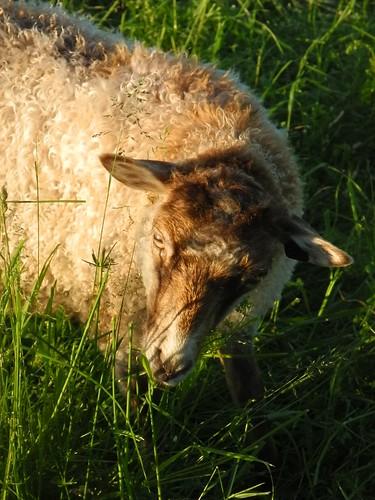 Sheep for sale - Sheep