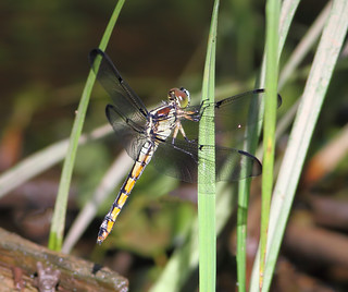 Female Great Blue Skimmer, Long Hill Twp., Morris County, NJ, July 6, 2014
