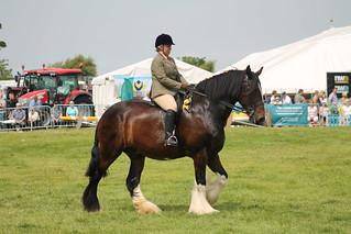 Ridden Shire Horse
