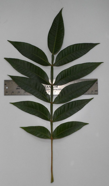 SumacLeaf1