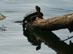 Turtle with reflection