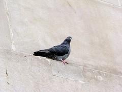 crow(0.0), animal(1.0), wing(1.0), fauna(1.0), stock dove(1.0), bird(1.0),