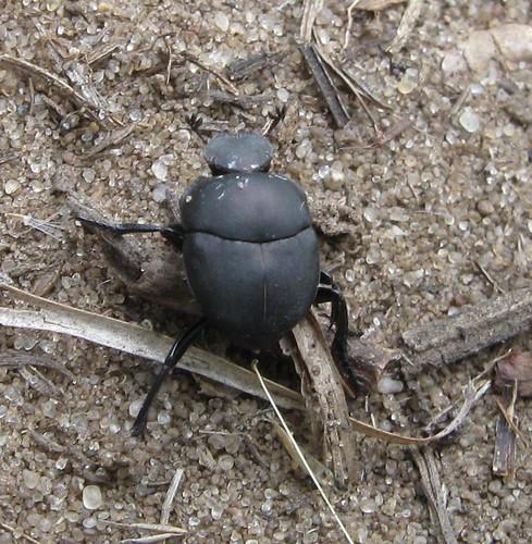 Beetle, Spring Green Preserve