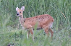 chinese water deer with 1/2 an ear missing