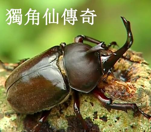 常被稱作甲蟲之王的獨角仙,有著盔甲般堅硬的外殼及顯眼的犄角,而這又有什麼樣的用途呢?