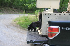 Bears cubs of 2014 Release
