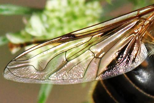 Heidelberg Heiligenberg Thingstätte Wilde Möhre Brauner Grashüpfer Natur Botanik Tiere Schwebfliege Flügel Naturfotografie Brigitte Stolle