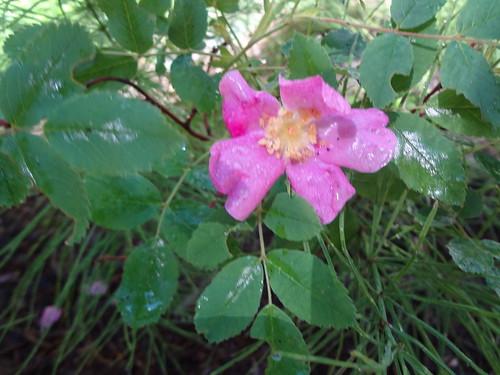 Wild rose magenta