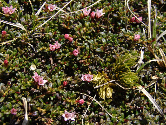 Header of Alpine Azalea