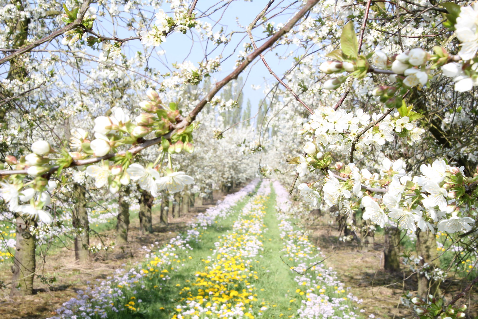 Alltagsfluchten blühende Kirschbäume