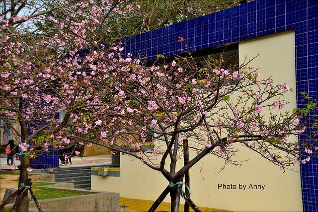 麗池櫻花3