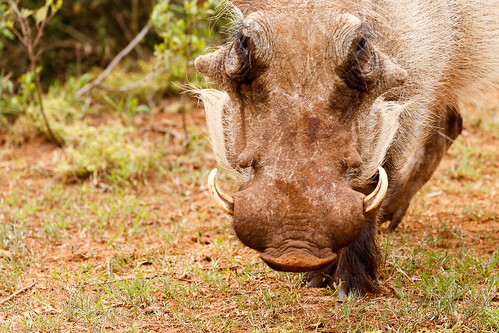 Warthog bowing to eat some grass