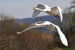 Mute Swan 250317 (1)