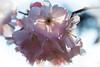 Kirschblüte 02