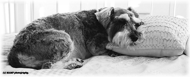 'Mille' our Miniature Schnauzer asleep on our bed.