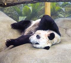 Memphis Zoo 08-31-2016- Giant Panda Ya Ya (Female) 2