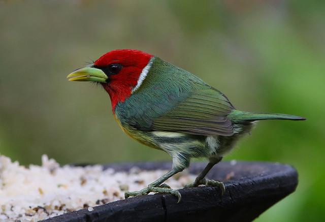 Capitão-de-cabeça-vermelha (macho) / Barbudo Cabecirrojo (macho) / Red-headed Barbet (male)