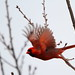 Northern Cardinal by Daniel Taieb