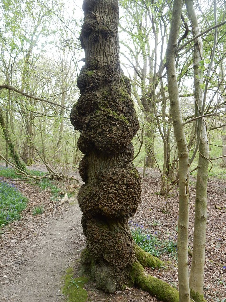 Knobbly tree Whyteleafe to Woldingham