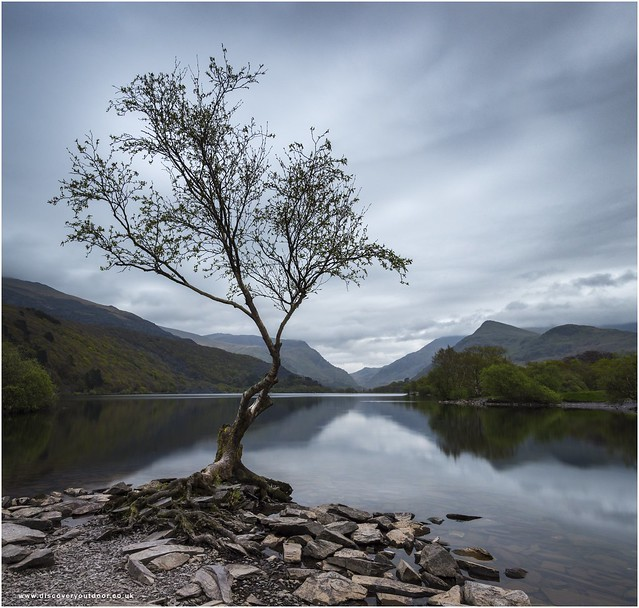The lonely Padarn tree